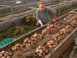 грядка с картофелем