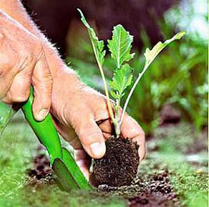 На фото показано как правильно пересаживать рассаду брюссельской капусты