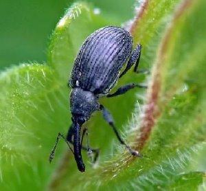 Малиновый жук фото