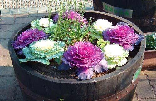 на фото красочная клумба с яркой декоративной капустой