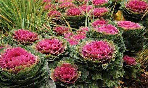 сорт декоративной капусты - Огородный Кудрявый