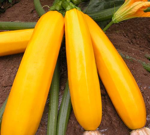 кабачок сорта желтоплодный