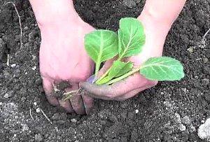 высаживание рассады капусты в грунт