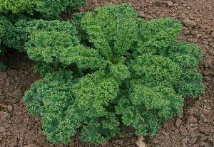 кале зеленая