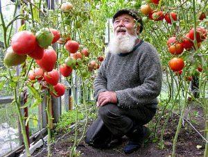 Сорта томатов для урала в открытом грунте