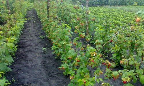 Изображение - Выращивание ремонтантной малины как бизнес malina-biznes-2