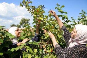 Изображение - Выращивание ремонтантной малины как бизнес malina-biznes-3