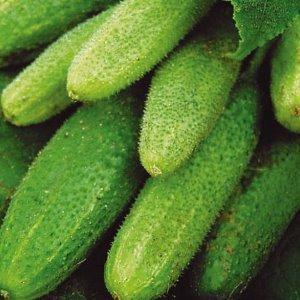 Лучшие сорта семян огурцов: посадка и уход