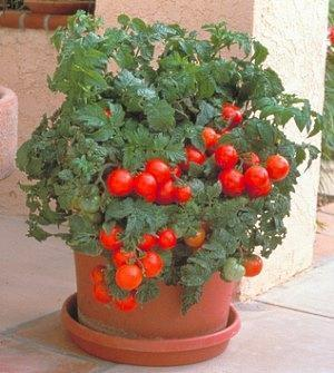 На фото обильный урожай помидор Черри выращенных в горшках