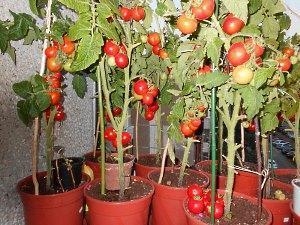 На фото высокорослый сорт помидор Черри выращенные в цветочных горшках