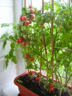 На фото высокорослые помидоры Черри