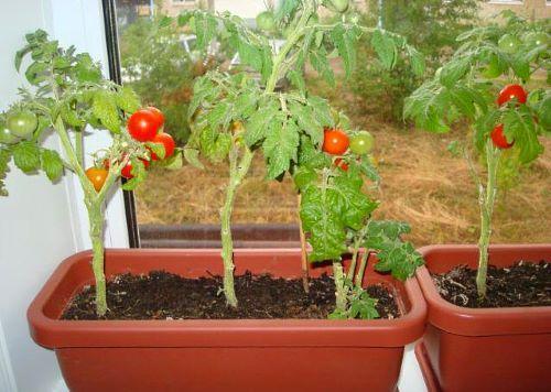 На фото помидоры Черри в горшках выращиваемые на подоконнике