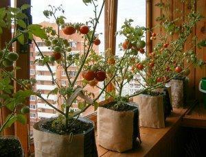 Томаты на окне выращивание зимой