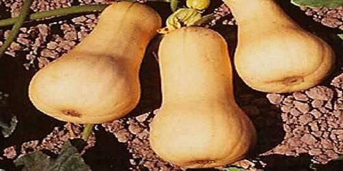 Кабачок сорта грушевидный