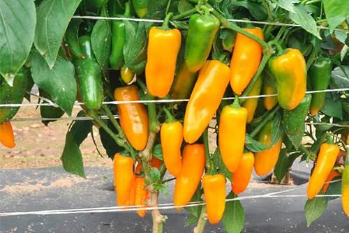 Сорт перца Желтый апельсин - фото