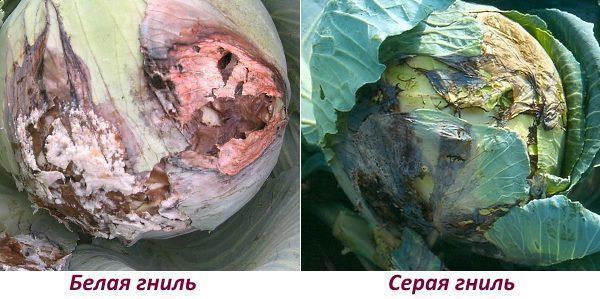 Белая и Серая гниль болезни капусты