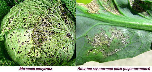 Мозайка капусты и ложная мучнистая роса