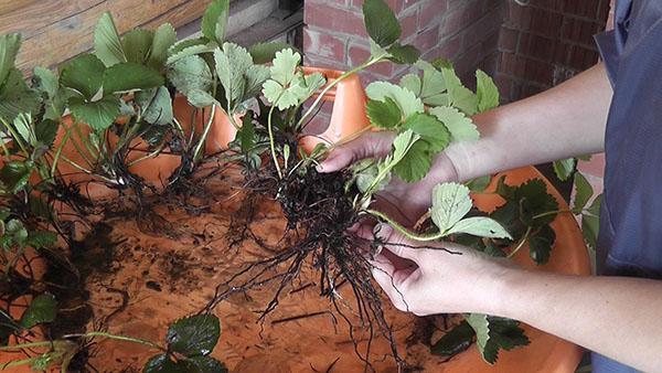 выбор саженцев клубники для выращивания в комнате