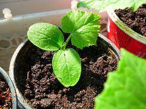 Партенокарпические огурцы Выращивание на подоконнике