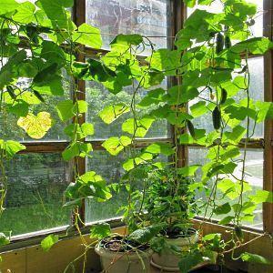 Огурцы на подоконнике выращивание.Технология как вырастить огурцы на подоконнике