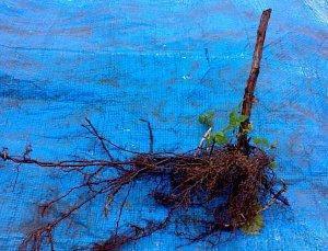 На фото корневая система малины