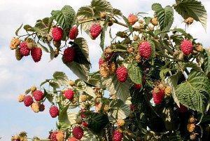 Малина уход и выращивание советы. Как выращивать малину в открытом грунте. Как правильно выращивать малину из семян, из черенков, из саженцев. Выращивание малины на шпалере