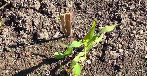 выращивание огурцов вместе с подсолнухом и кукурузой