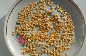 на фото подготовленные семена перца готовые к посадке в грунт