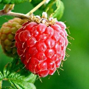 ягода малины