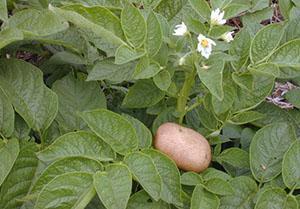 Цветение картофеля не влияет на урожай