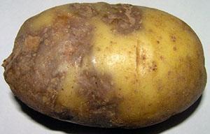 Грибковое заболевание клубней картофеля