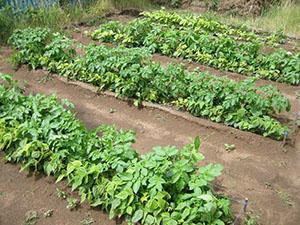 Грядки картофеля по Митлайдеру