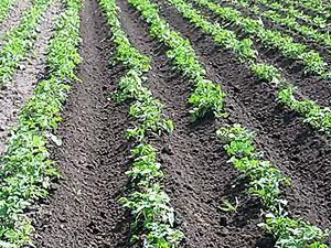 Картофельная плантация