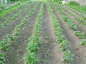 Огород после первого окучивания