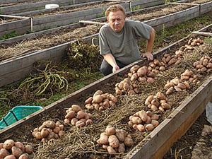 Отличный урожай под соломой