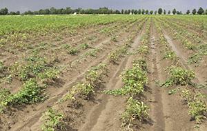 Поле картофеля пораженное нематодой
