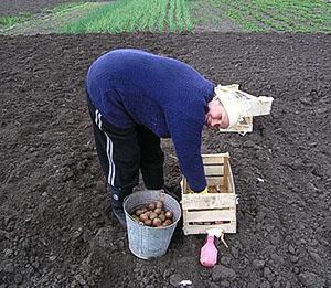 Посадка клубней в открытый грунт