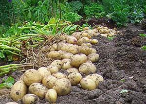 Сбор молодого картофеля
