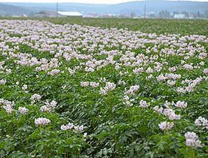 Ухоженное картофельное поле