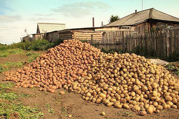 Урожай картофеля разных сортов