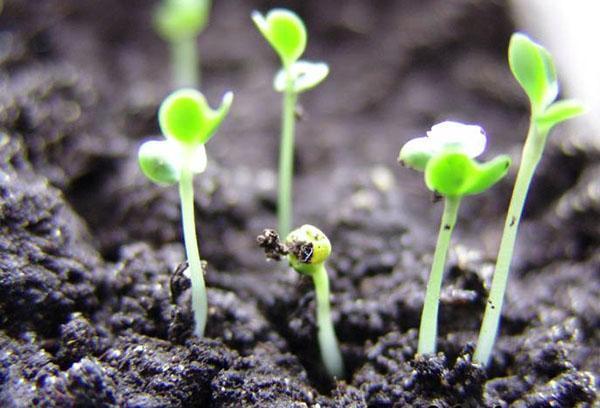 Всходы семян из картофеля