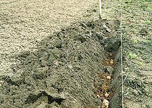 Высадка картофеля под лопату