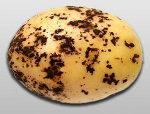 Черная парша на картофеле
