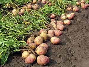 Борьба с вредителями картофеля проволочник