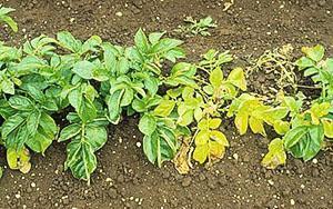 Фитофтороз ботвы картофеля