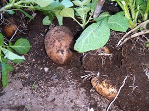 Обработанный престижем картофель