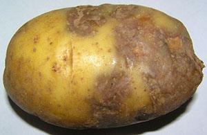 Картофель пораженный фитофторозом