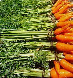 Лучшие сорта моркови для дачи