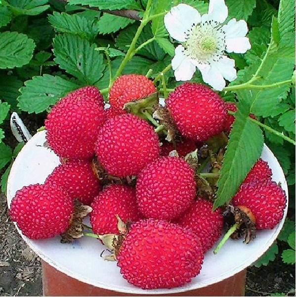 малина розолистная ягода