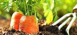 Морковь без прореживания
